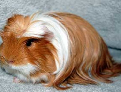 Hamster Breeds That Make Good Pets And a Couple To Avoid
