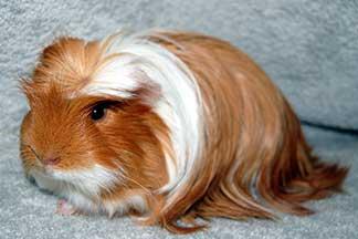 hamster coronet cavia