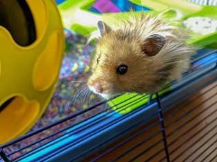 hamster playing inside cage