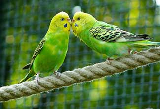 pet love birds on the rope